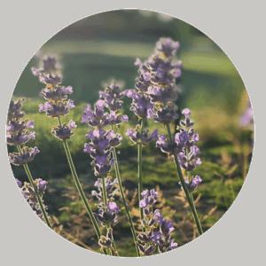 DIY Pfotenbalsam - Lavendel