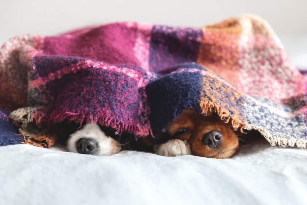 Hunde zuhause bei Corona