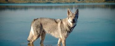 Tschechoslowakischen Wolfshund Rasseportrait