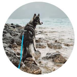 Husky steht am Wasser mit türkis blauer Schleppleine