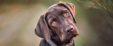 Buddy and Bello Hundefotografie. 10 Tipps für das perfekte Hundefoto. Mit Expertin Nina Herr. Labrador schaut direkt in die Linse