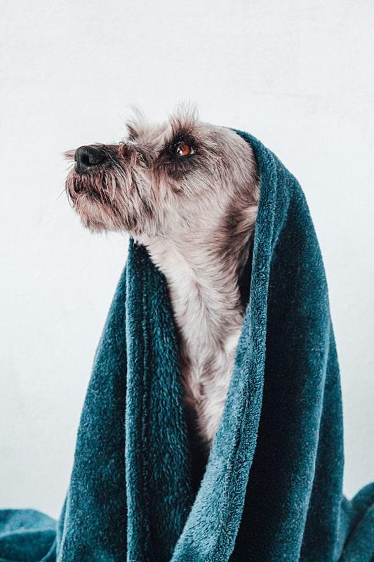 Buddy and Bello Hund richtig baden, Hund in grünes Handtuch gewickelt schaut zur Seite