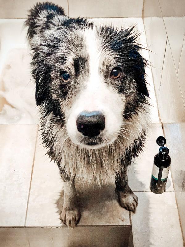 Buddy and Bello Hund richtig baden. Nasser Hund in der Dusche mit Hundeshampoo