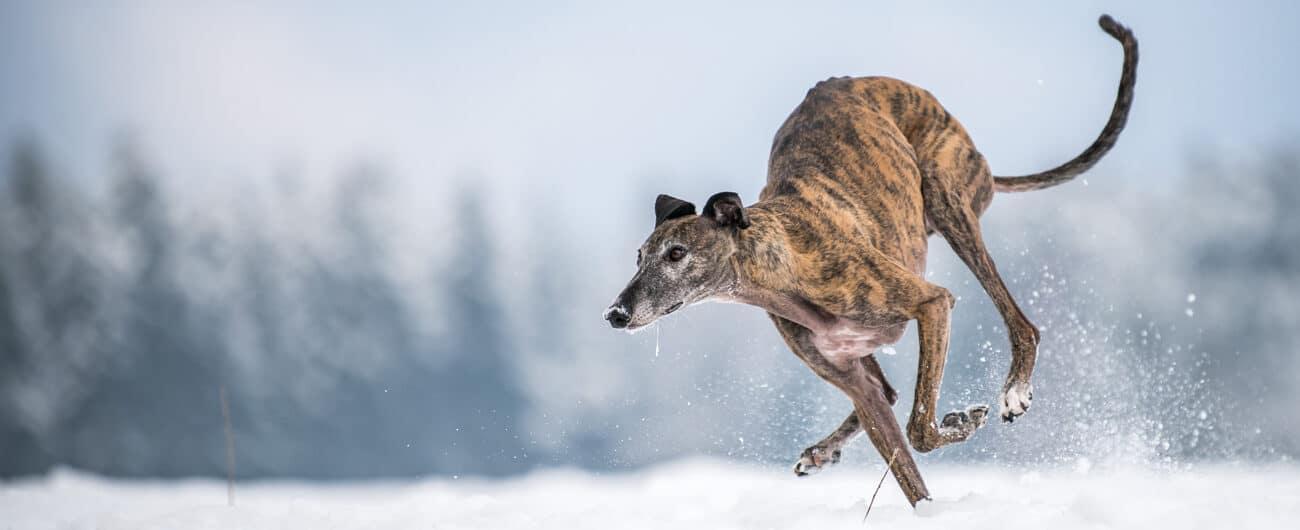 Buddy and Bello Hunderassen Galgo springt im Schnee
